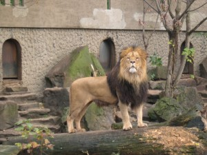Lion_Artis_Zoo